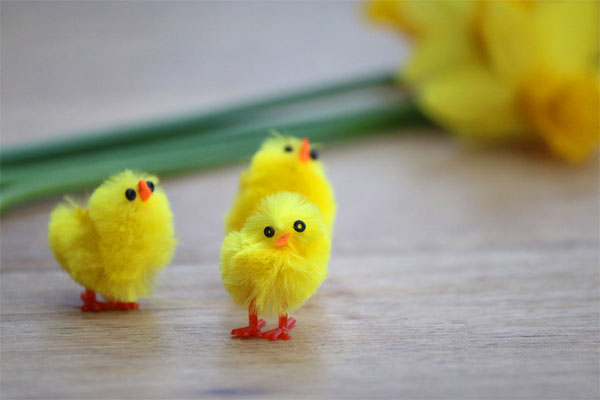 Image of fluffy Easter chicks and daffodils