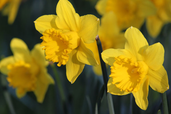 Photo of yellow daffodil flowers in the spring