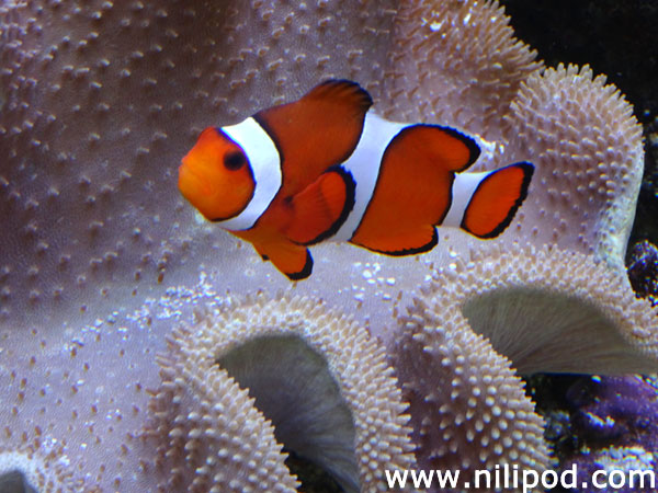 Image of clown fish swimming in marine aquarium