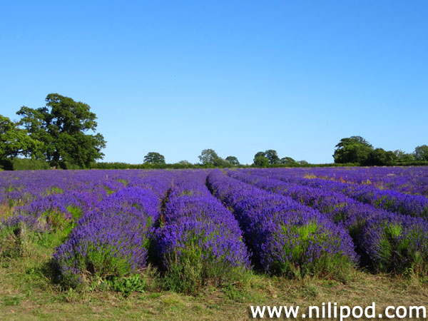 View of lavender field with purple flowers