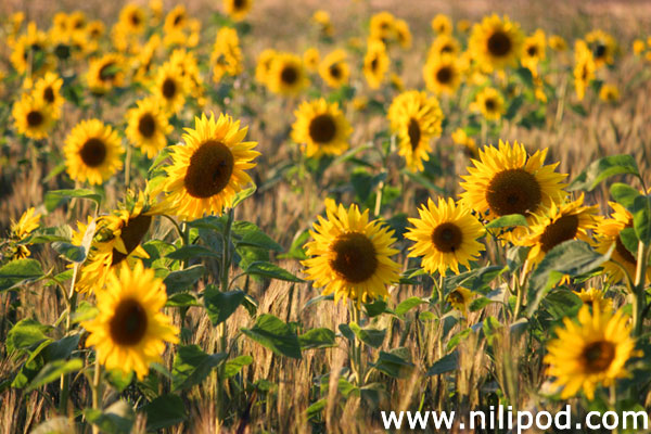 Picture of sunflowers in field