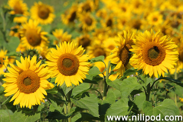 Further photo of sunflowers in field
