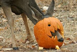 Photo of deer with head stuck in pumpkin